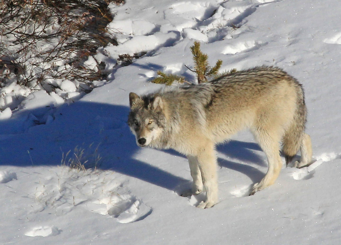 A wolf on a hillside covered in snow.