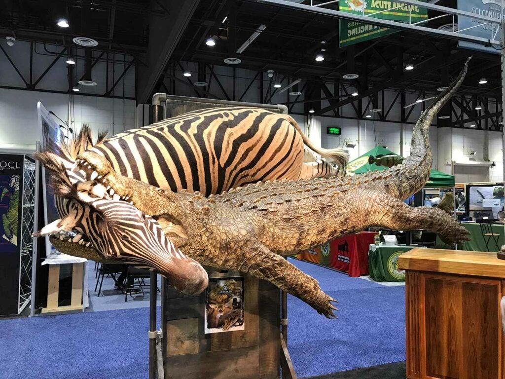 Advanced Taxidermy zebra mount
