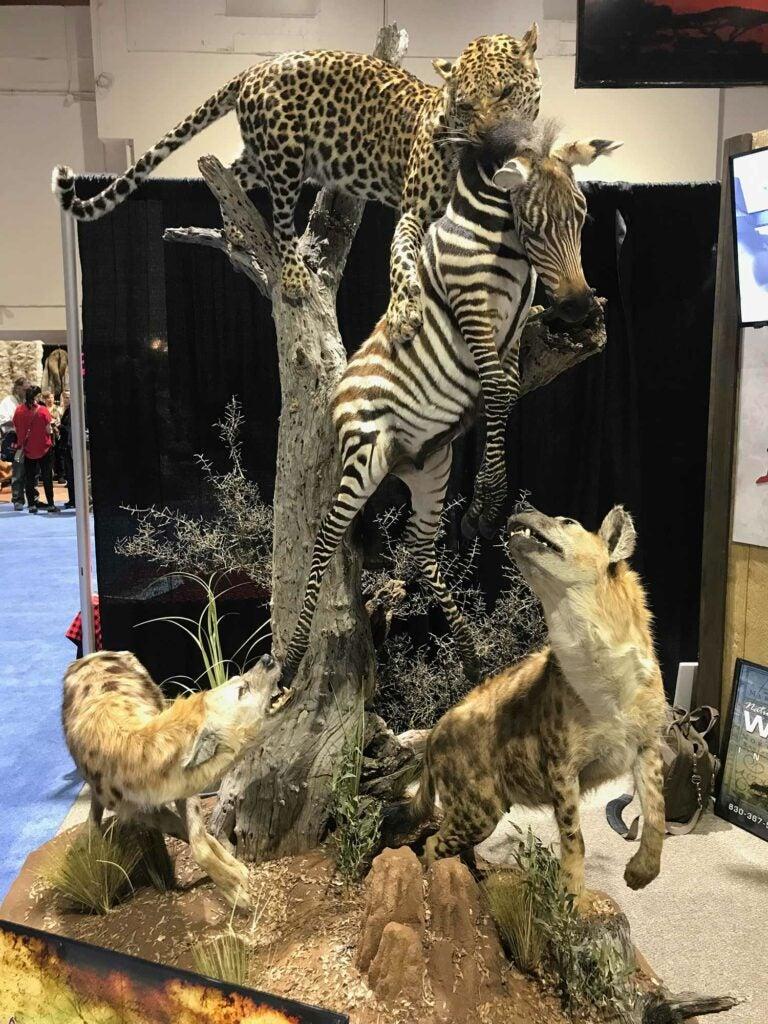 Woodbury Taxidermy cheetah taxidermy