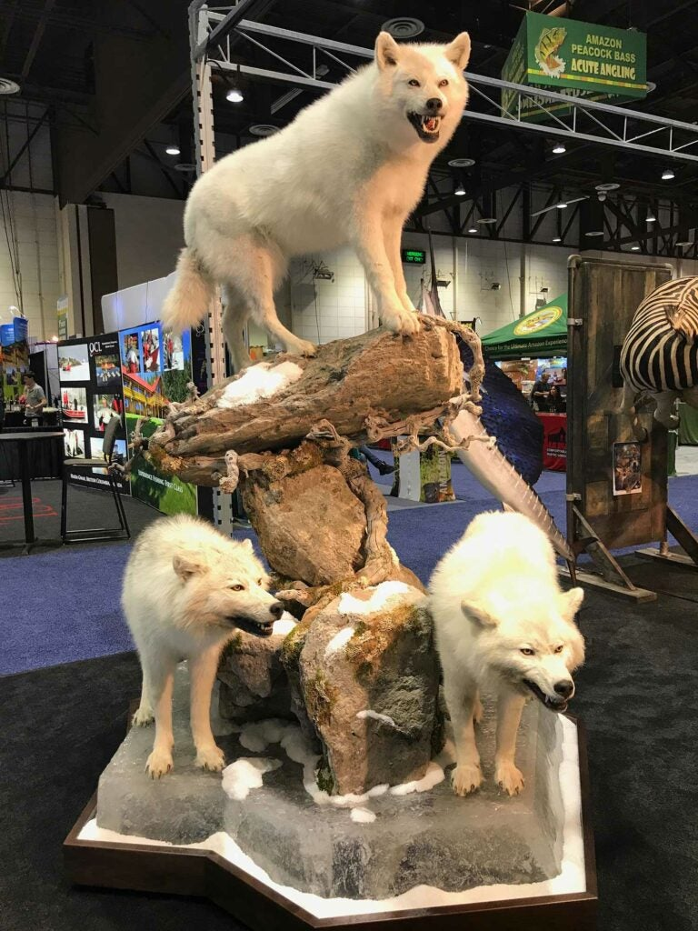Advanced Taxidermy white wolves
