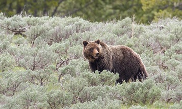 Paintball a Grizzly? USFWS Clarifies Bear Hazing Laws