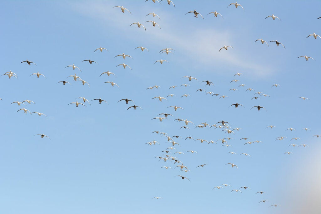 Snow geese in flight.
