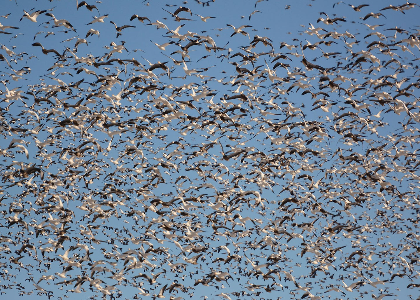 A large flock of snow geese.