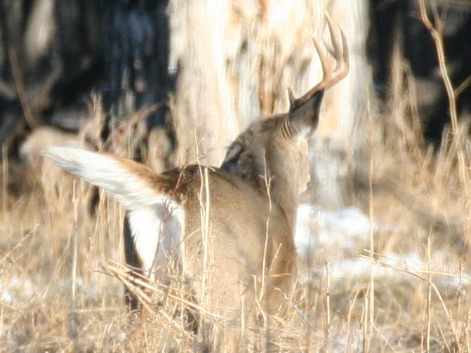 Whitetail buck with one antler running away.