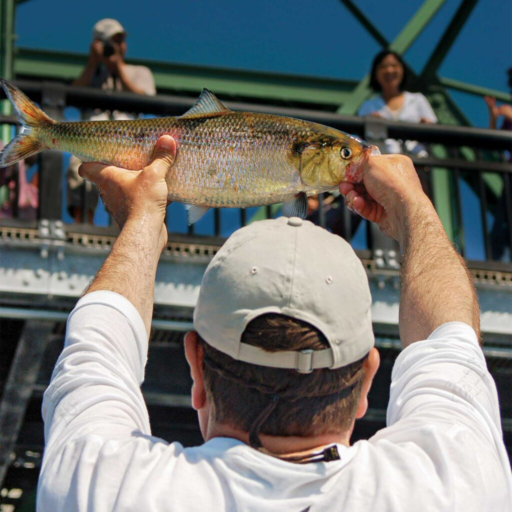 Angler holding up a steel shad fish.