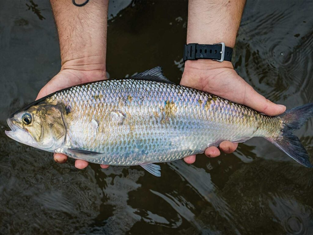 An American shad in the river.