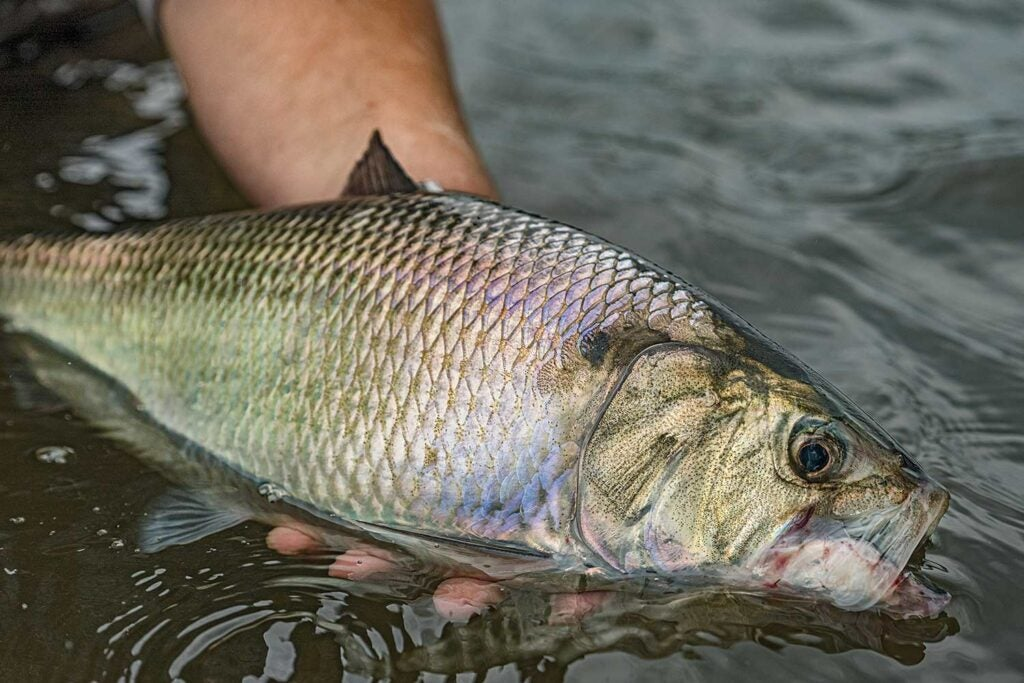 An American shad fish in the water.