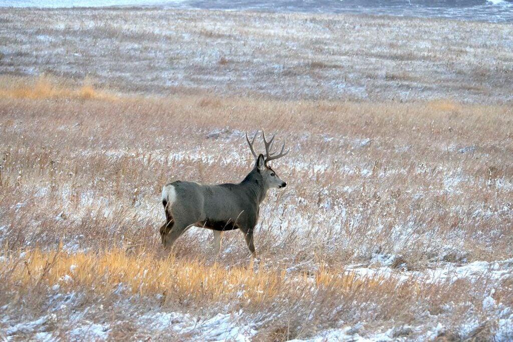mule deer in a snowy field.