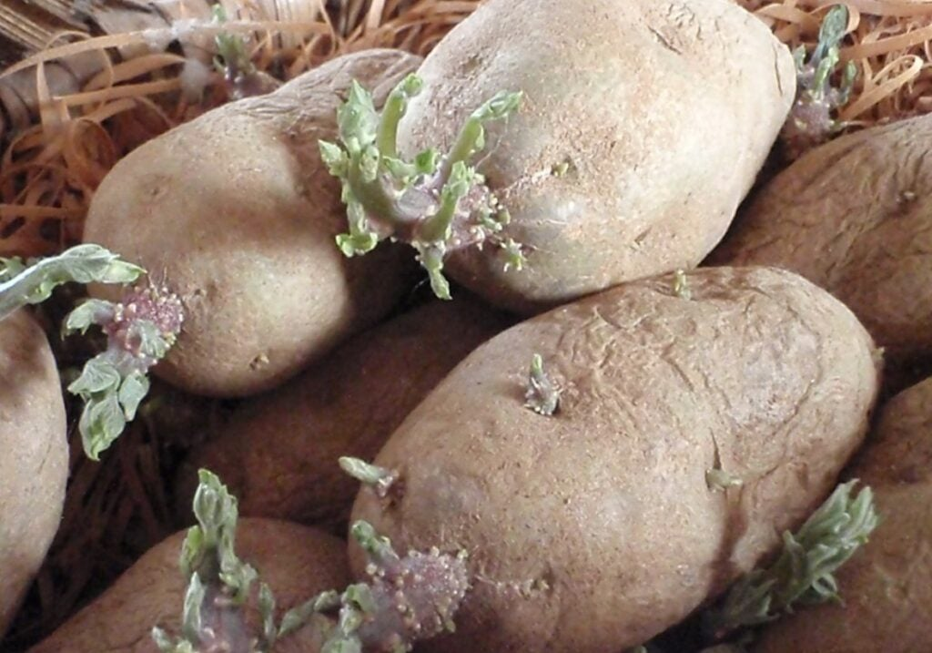 picked potatos with growths on them.
