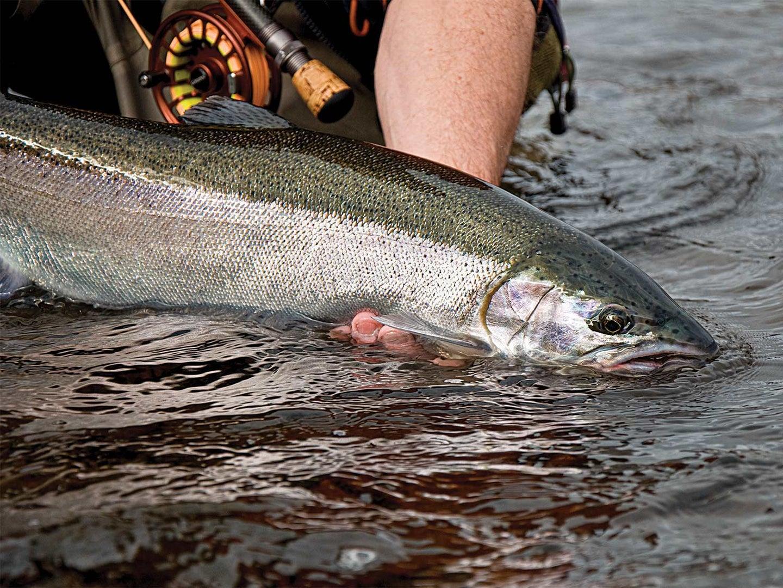 A dropback steelhead fish in the river.