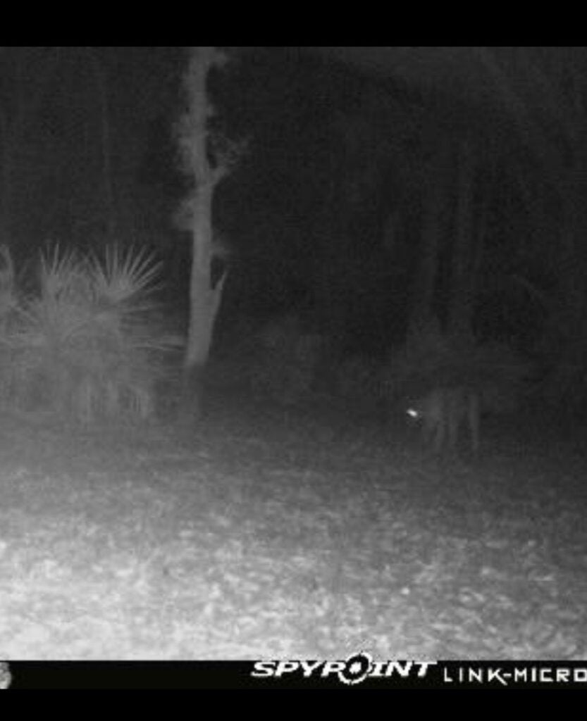 panther-trail-cam.jpg
