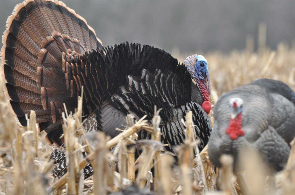 A turkey in a field.