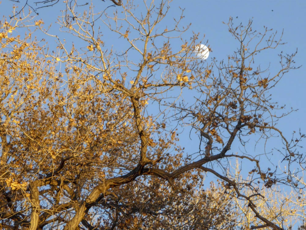 Cottonwood tree.