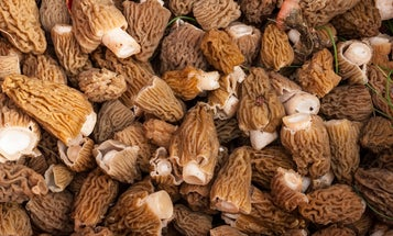 How to Hunt Morel Mushrooms Like Your Life Depends on It