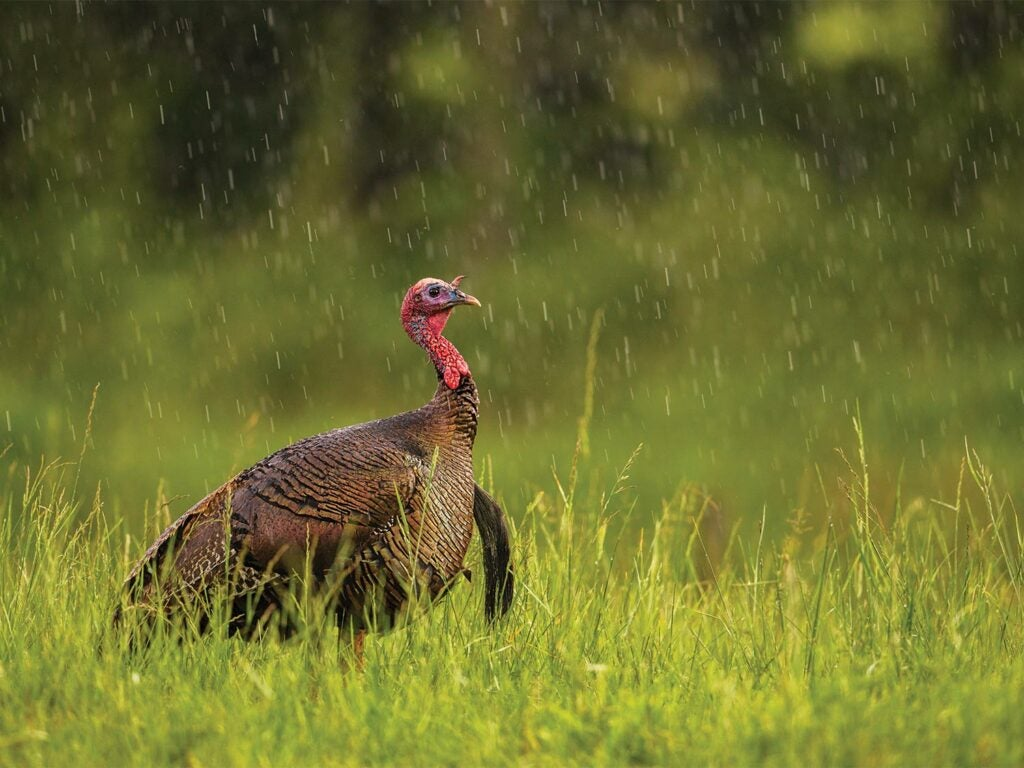 A lone turkey in the rain.