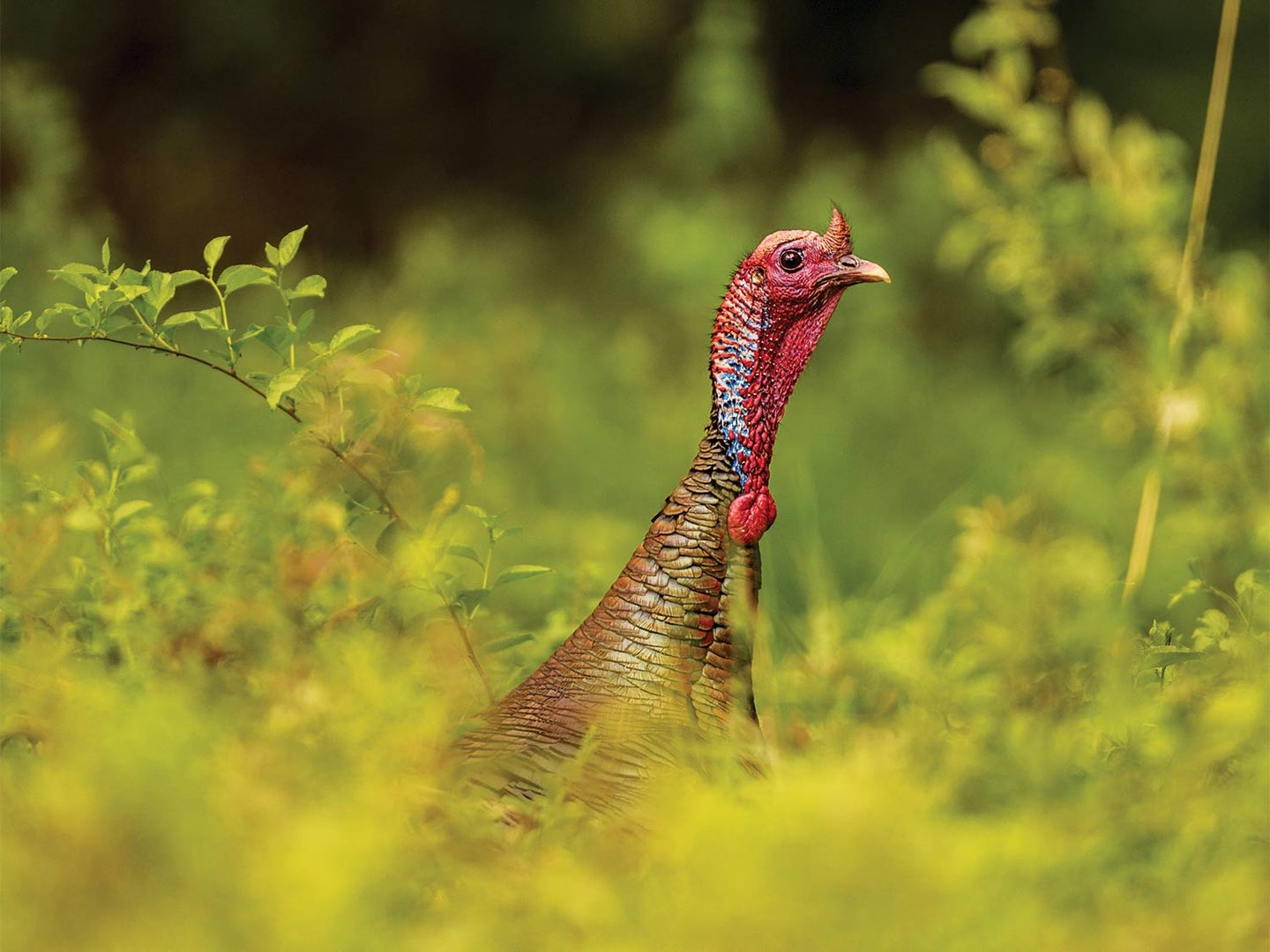 A turkey in a weed and grass field.