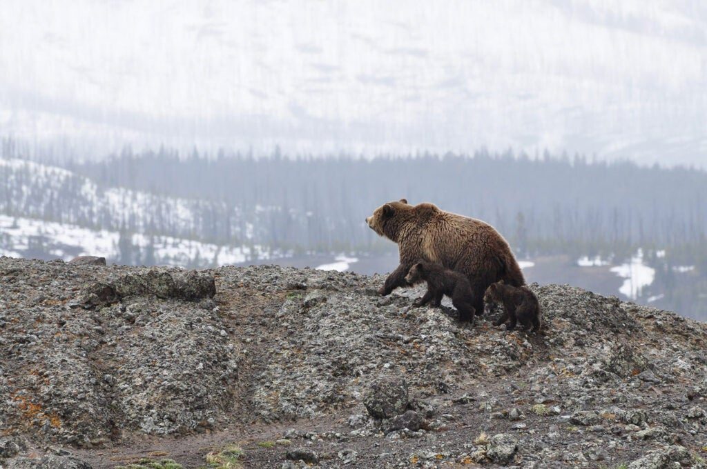 A bear sow and her cub walking across a hill.