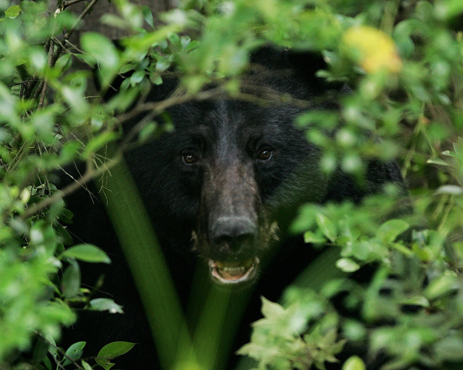 A black bear hiding in brush cover