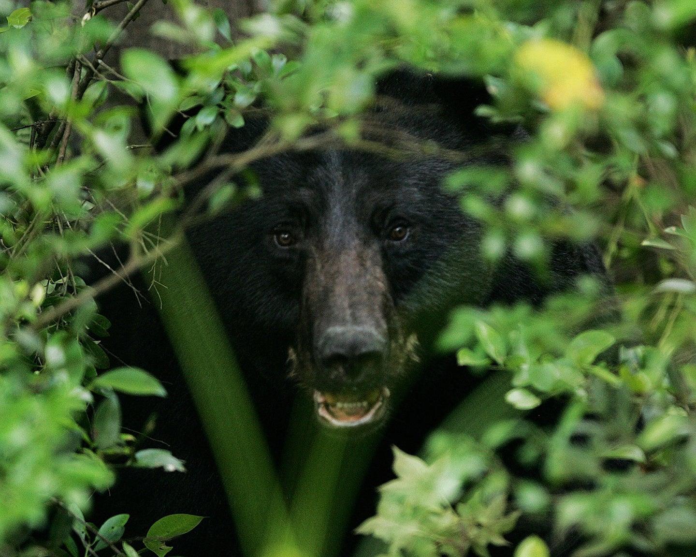 A black bear hiding in brush cover