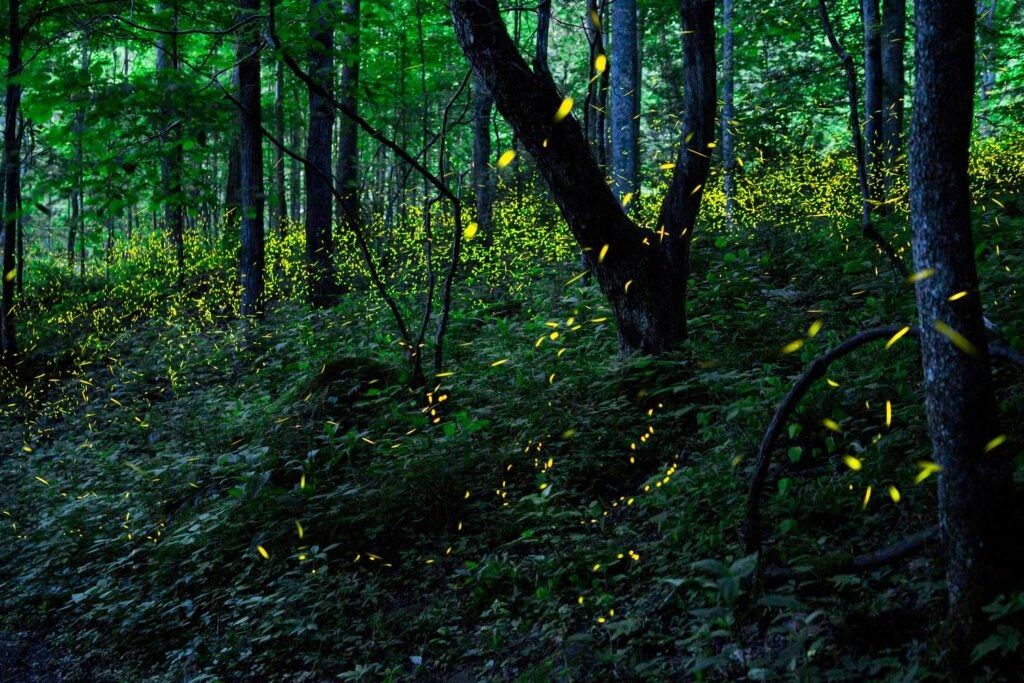Fireflies, Elkmont, Great Smoky Mountains National Park, Tennessee