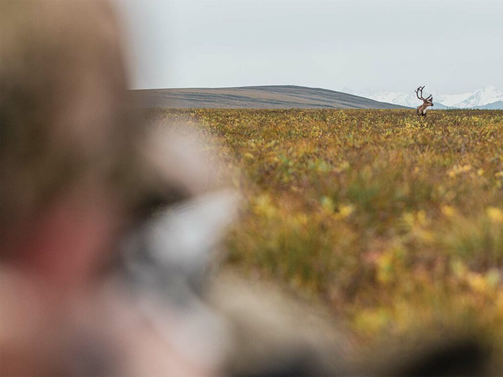 Hunter scouting a large bull caribou.