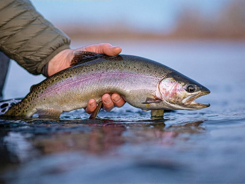 Releasing a rainbow trout in Montana's Bighorn River.
