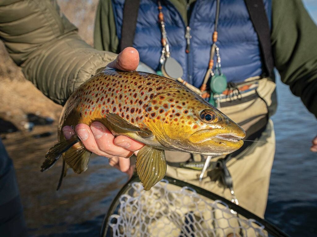 A large brown trout caught in Montana's Bighorn River.