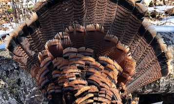 Should You Shoot Jakes This Spring? (and Other Things to Consider During a Coronavirus Turkey Season)