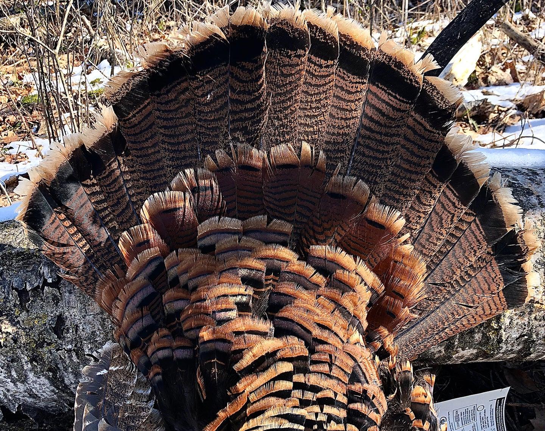 Minessota jake turkey feathers.