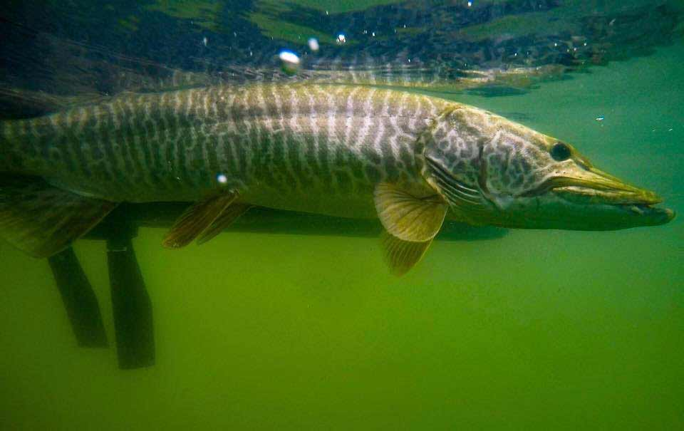 Pike under water.