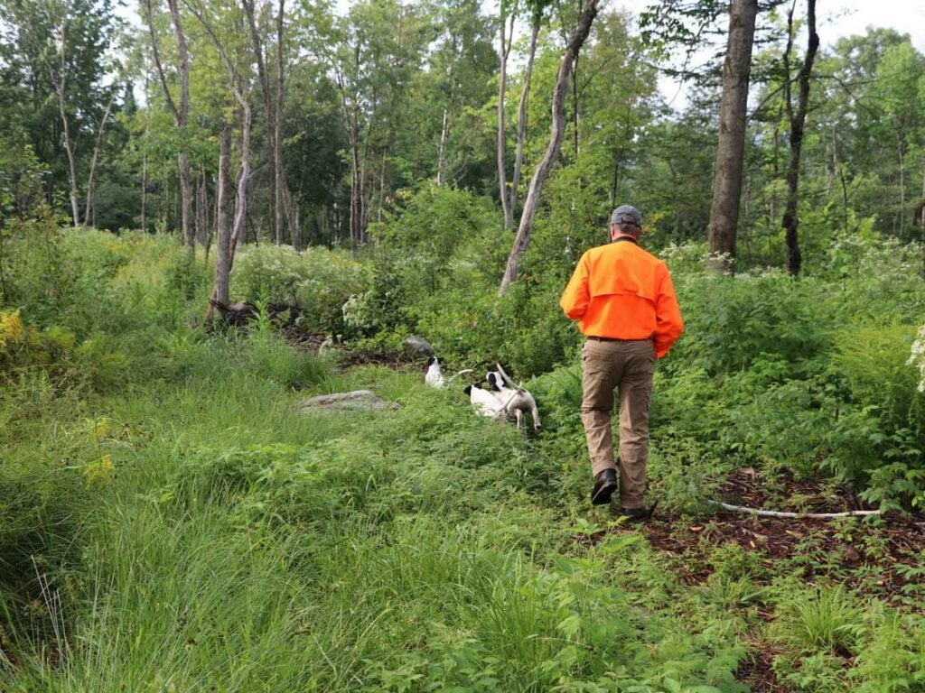 A man in an orange vest trains hunting dog puppies.