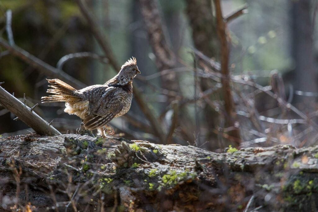 A small grouse standing on a fallen tree.
