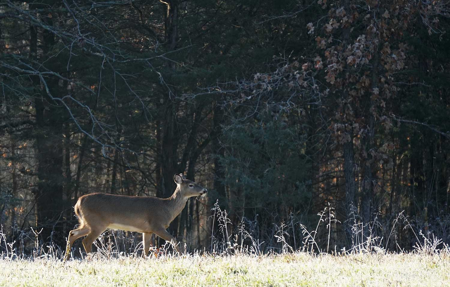 A whitetail doe walking through a field during the daytime.