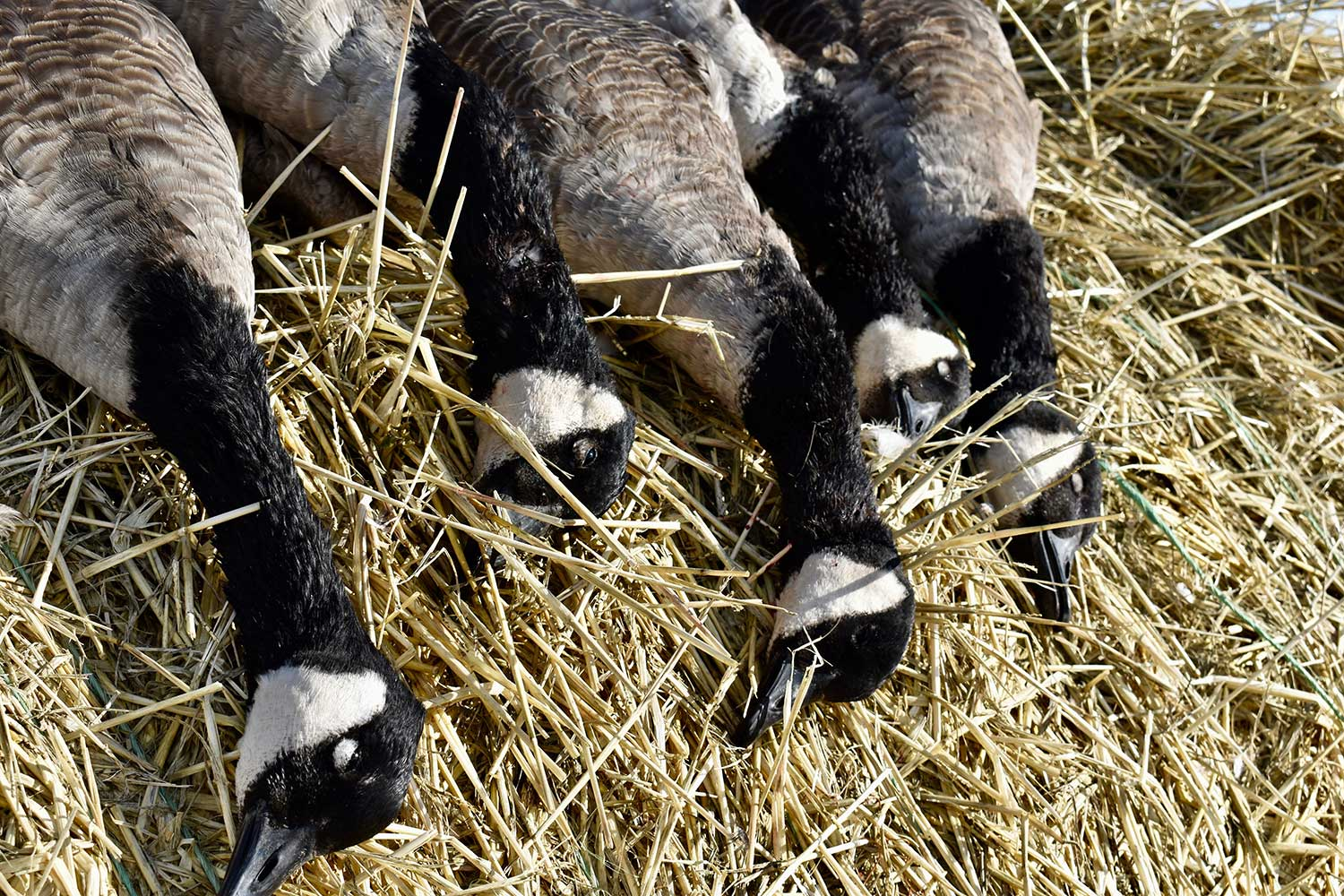 Several geese on a pile of hay.