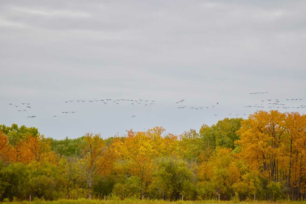Flocks of geese flying over a treeline.