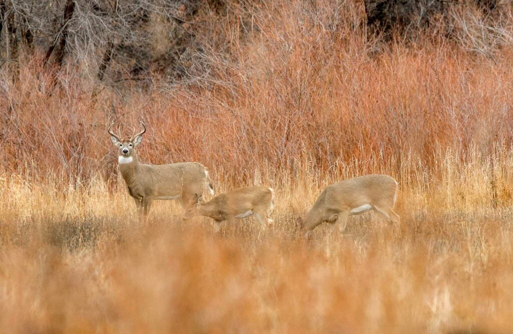 Three whitetail deer feed and roam in a large open field.