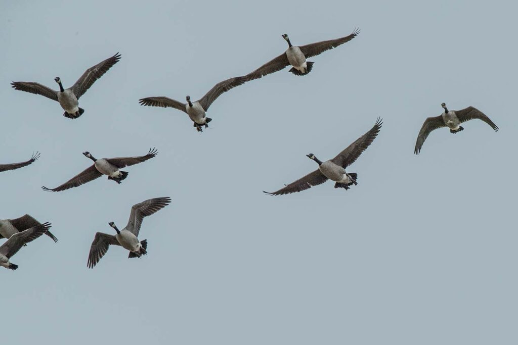 A flock of Canada geese flying through the air.