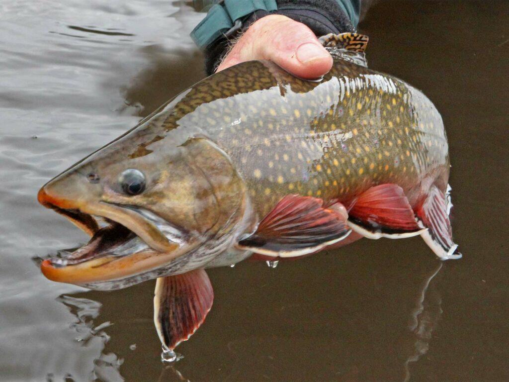 A brook trout caught in Deer Creek Lake Utah.