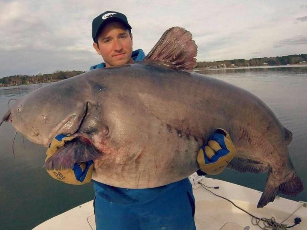 An angler holding up a large blue catfish.