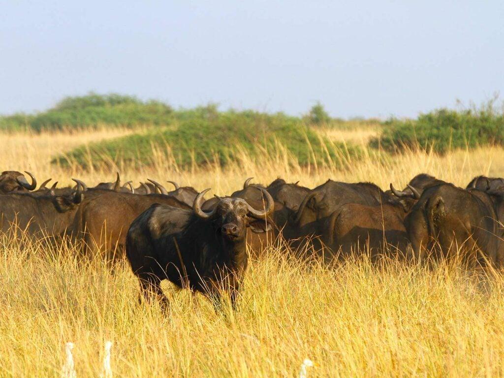 a wild buffalo in an African field.