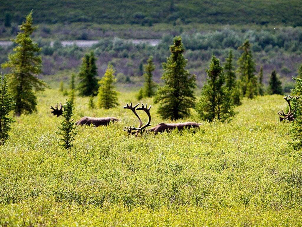 Bull caribou walking through tall grass and timber in Alaska.