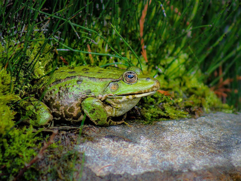 A bullfrog on a rock beside moss and grass.