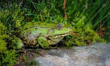 Frog Gigging is Cheap, Hot, Muddy Fun