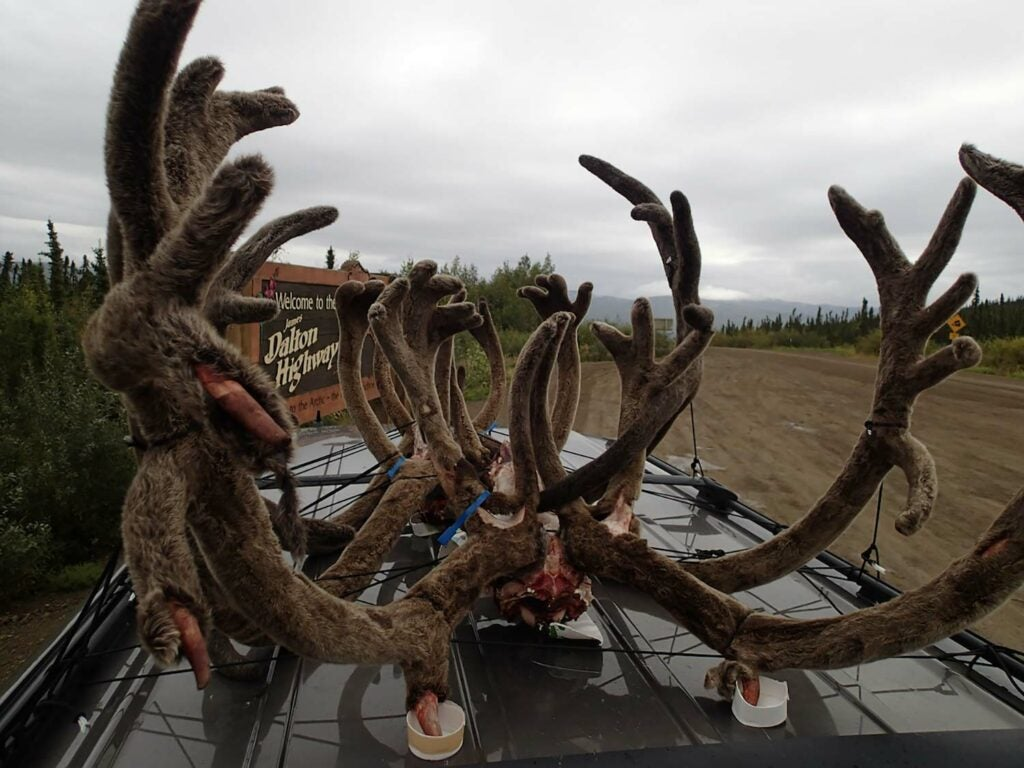 Big game antlers packed onto the top of a vehicle.