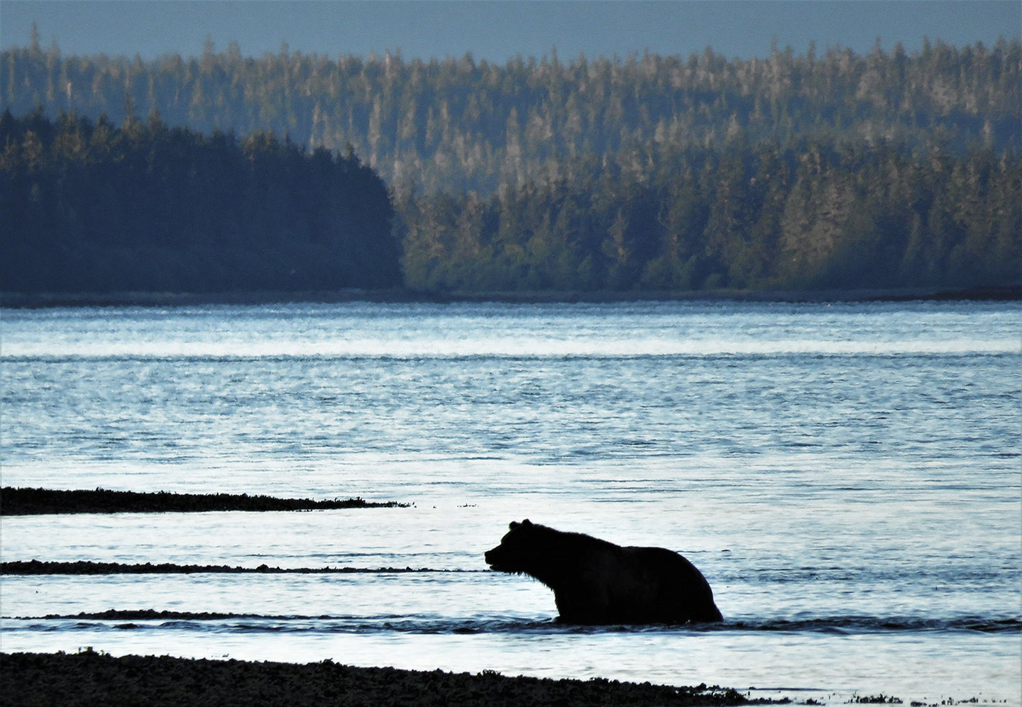 A large, male brown bear fishes for salmon in the Tongass National Forest.