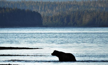 The Roadless Rule in the Tongass National Forest is Vital for Both Hunters and Brown Bears