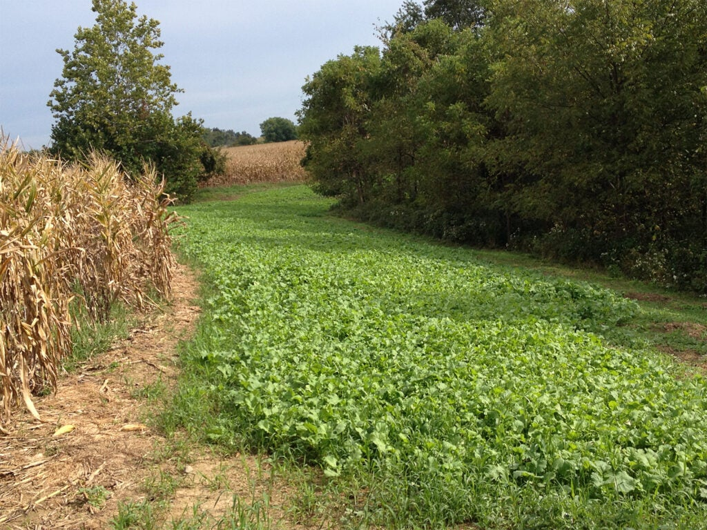 A narrow stretch of deer food plot between a tree line and a corn field.
