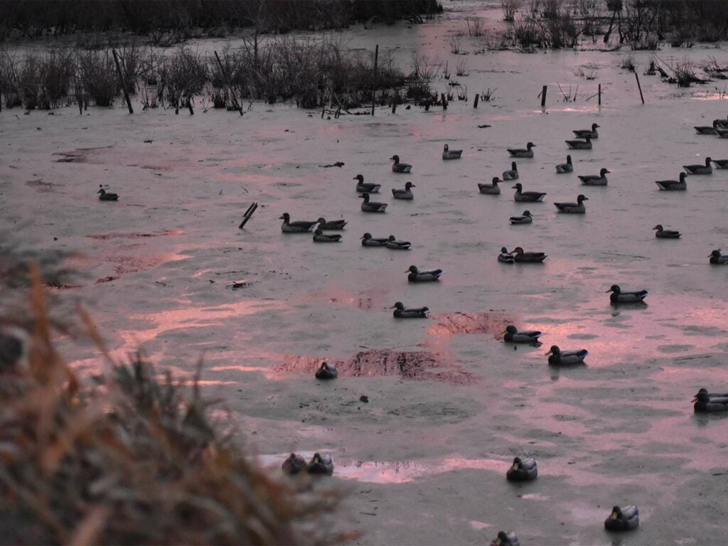 Ducks and decoys in a lake at sunrise.