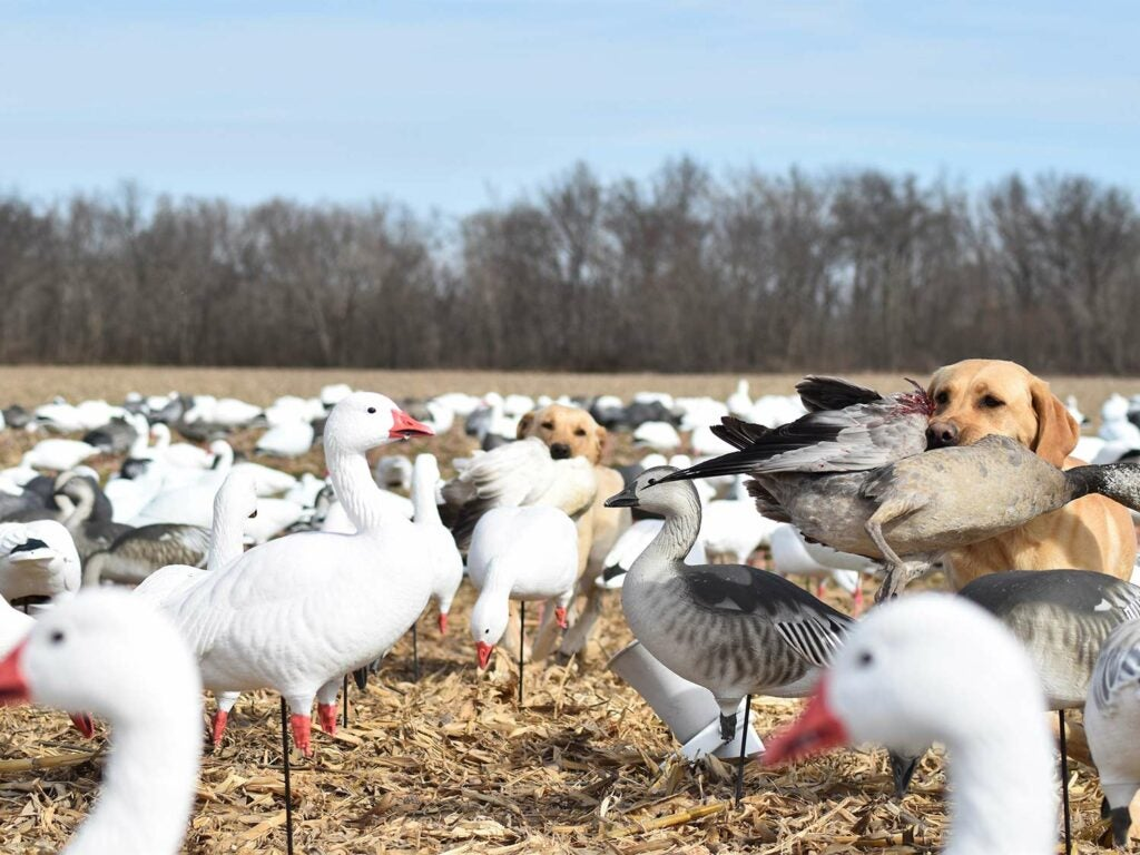 A pair of yellow Labs retrieve snow geese in a southern Illinois cornfield.