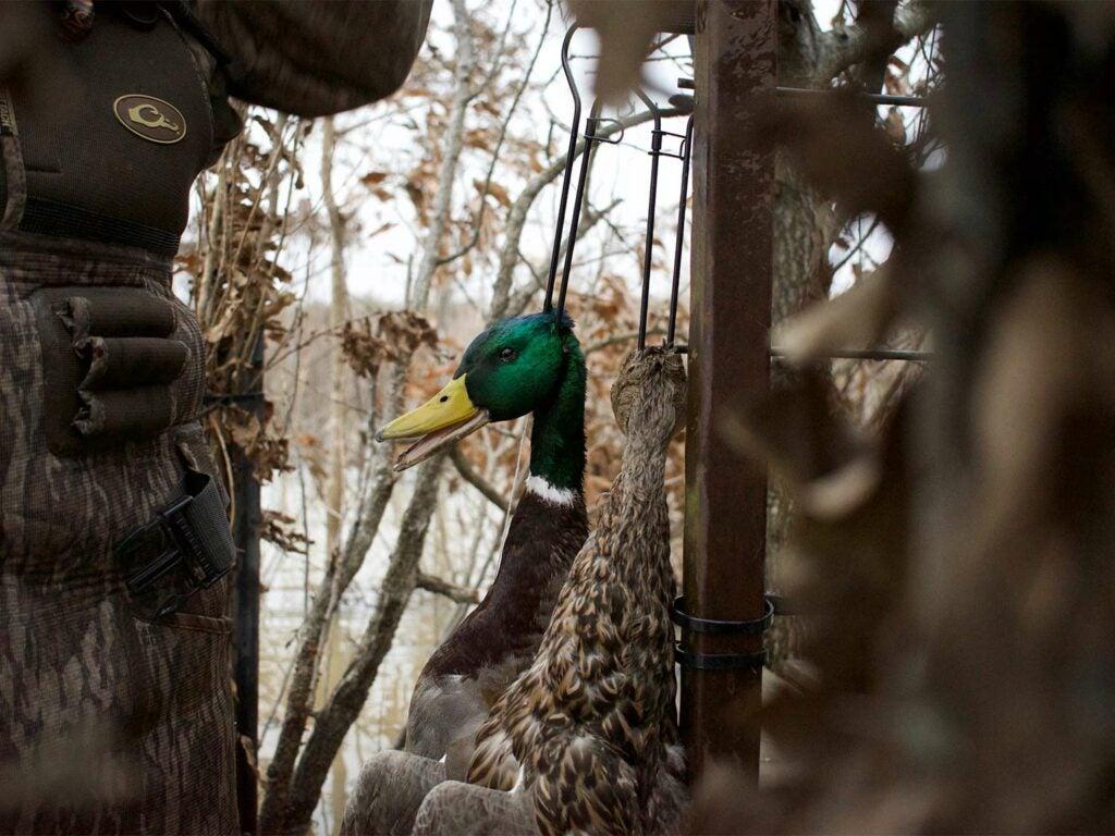 A green-headed mallard duck in swampy woods.